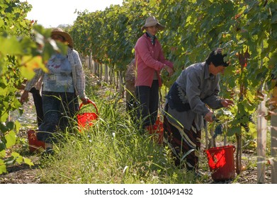 Georgian women harvesting grapes, September 2009, Kakheti region, Georgia: Women work around the vineyards harvesting grapes for wine production in Kakheti region, Georgia.