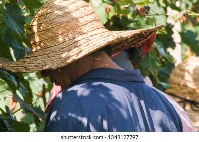 Georgian women harvesting grapes, September 2009, Kakheti region, Georgia: A woman farmer wearing a straw hat works by the vineyards cutting grapes in the middle of a vineyard in Kakheti, Georgia.