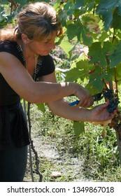 Georgian women harvesting grapes, September 2009, Kakheti region, Georgia: Women work around the vineyards harvesting grapes for wine production in Kakheti region, Georgia.