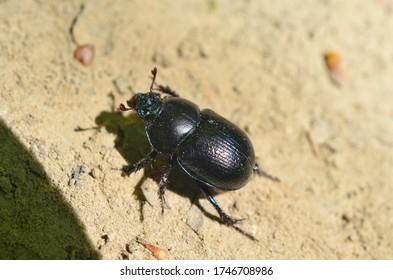 Geotrupes is a genus of earth-boring scarab beetles