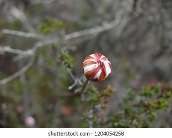 Geraldton Wax flower bud Western Australia