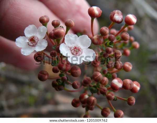 Geraldton Wax wildflower Mt Trio Stirling Range National Park