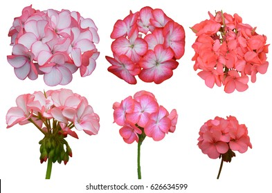 Geranium blossom bouquet of flowers isolated on white background