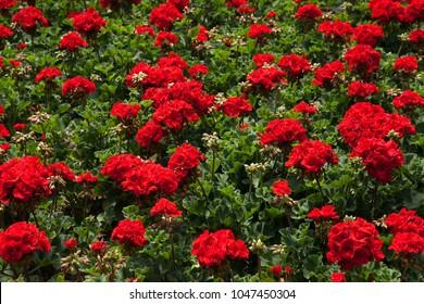 Geranium, Calliope Dark Red, floral bed. Flower bed of geranium bloomin flowers.