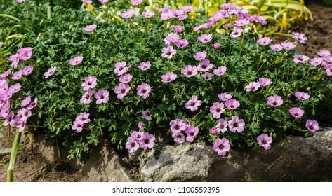 Geranium cantabrigience (sort Karmina) in the garden.  Perennial ornamental plant for rock garden