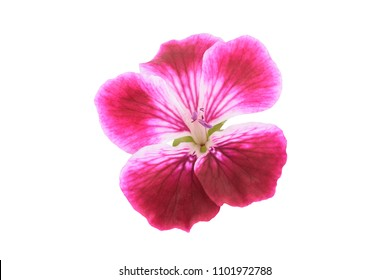 Geranium flower head isolated on white background