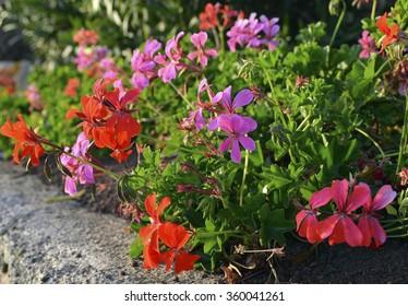 Geranium flowers in the garden.
