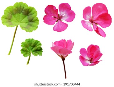Geranium flowers and leaves isolated on white background