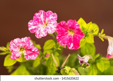Geranium Flowers Mix Color on Brown Background, purple and white with green leaves.