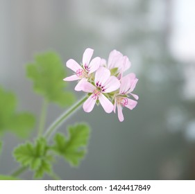 "Geranium fragrance ""Attar of roses"" with pink flowers, scented-leaved pelargonium, rose-scented pelargonium, pelargonium perfume"