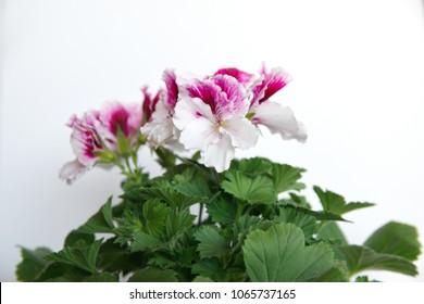 """Geranium grandiflorum """"PAC Aristo Petticoat Regal"""" with white-purple flowers"""