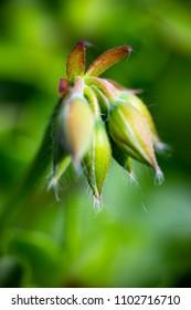 Geranium ivy, Pelargonium peltatum, Ruby dream, undeveloped flower buds. Extreme macro full frame crop in sunny day light