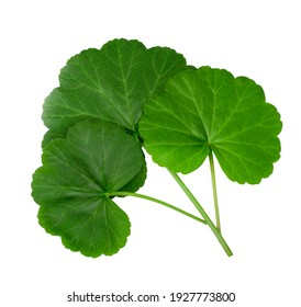 The geranium leaves isolated on a white background, top view.
