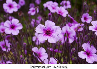 Geranium maderense, known as giant herb-Robert or the Madeira cranesbill, is a species of flowering plant in the Geraniaceae family, native to the island of Madeira.