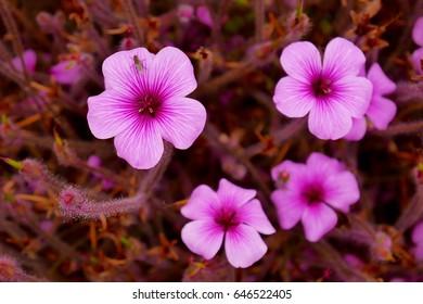 Geranium mavis simpson spring season.