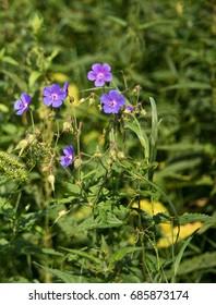"Geranium palustre flower, commonly know as ""Marsh cranesbill"""