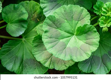 Geranium (Pelargonium x hortorum) ; An appearance colorful textures of foliage, quite rounded, wavy edge, green leaves alternating with brown. close up, natural sunlight.