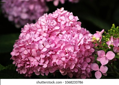 Geranium pink in nature.