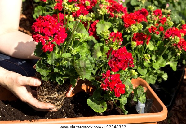 A geranium is planted in a flower box