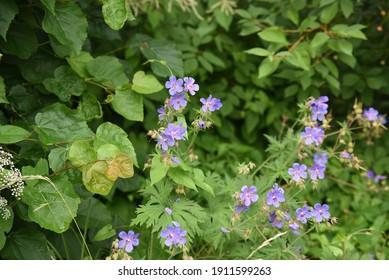 Geranium pratense: geraniums bloom in summer in nature