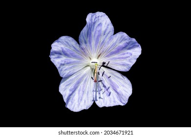 Geranium Pratense 'Mrs Kendall Clark' a summer flowering plant with a light purple summertime flower commonly known as meadow cranesbill cut out and isolated on a black background, stock photo