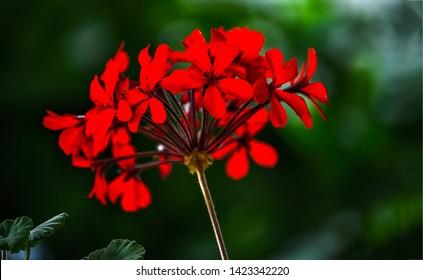 Geranium red flowers close up. Red geraniums. Red geranium flowers. Geraniums red flowers