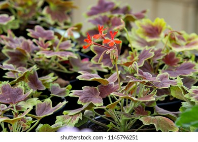 geranium with red leaves