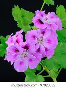 """Geranium """"Regalia Lilac"""" (Pelargonium) - Studio Image"""