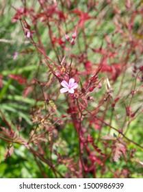 Geranium robertianum,  commonly known as  Herb Robert geranium, red robin, storksbill, fox geranium, crow's foot