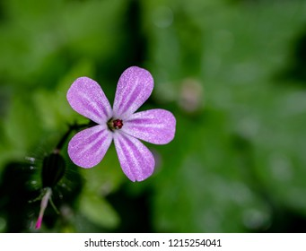 Geranium robertianum, commonly known as herb-Robert, red robin, death come quickly, storksbill, fox geranium, stinking Bob, squinter-pip, crow's foot, or Roberts geranium