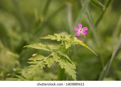 Geranium robertianum, Herb-Robert, Geranium Family – Geraniaceae,  robertianum close-up with bokeh background