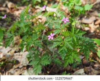 Geranium robertianum - Herb-Robert, Red Robin, Death come quickly, Storksbill, Fox geranium, Stinking Bob, Crow's Foot Roberts Geranium.