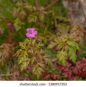 Geranium robertianum, herb-Robert, red robin, storksbill, stinking Bob.