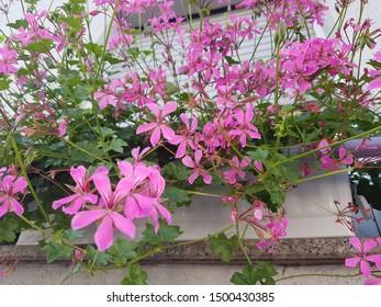 Geranium Robertianum L. Herb Robert Flower