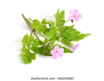Geranium robertianum, Robertiella robertiana, commonly known as Herb-Robert, Red Robin, Death come quickly, Storksbill, Dove's Foot, Crow's Foot, or  Robert Geranium. Isolated.