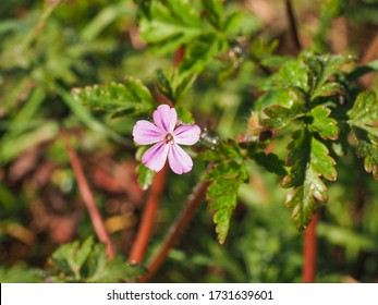 Geranium Robertianum or wild Herb Robert small, light pink, five-petalled flower with deeply dissected leaves. Mediterranean Storksbill is herbaceous flowering plant in the Geranium family Geraniaceae