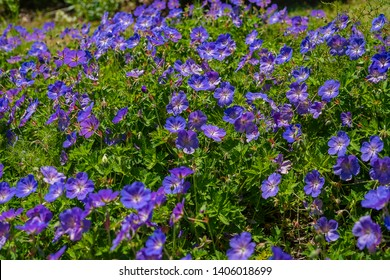 """Geranium """"rozanne"""" (geranium hybride). Geranium """"Rosanna"""" - one of the best hybrid geraniums, is rich in flowering, fast growing and longevity. The flowers are large, bright blue."""