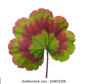 geranium single leaf isolated on white background