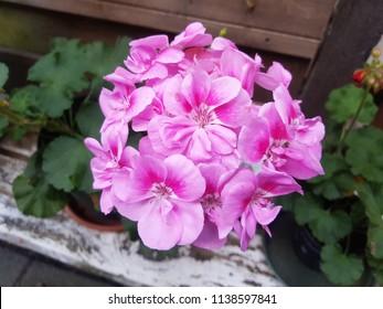 Geranium two colors pink