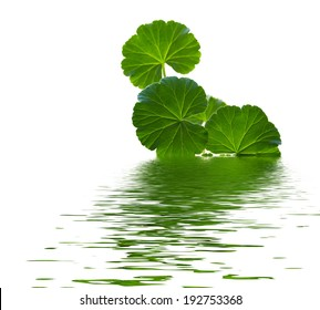 Geranium in water on a white background