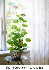 Geranium in a window, Sweden.