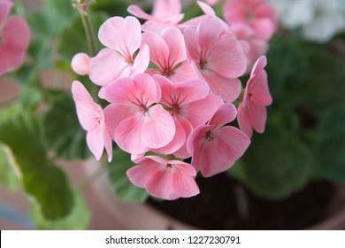 Geranium Zonal, Pelargonium hortorum with pink flowers
