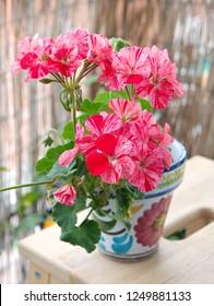 "Geranium Zonal, Pelargonium hortorum,  Geranium plant ""Horizon Divas Ripple Mixed"" with spotty pink, red-white flowers"