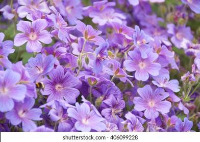 geraniums flowering in an english summer garden with honey bee's collecting pollen