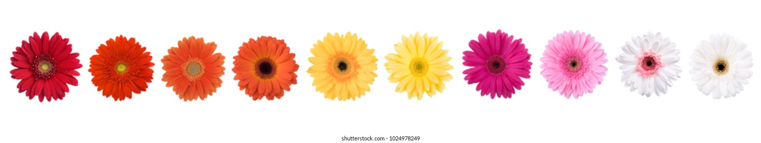 gerber daisy flower heads isolated on white