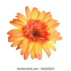 Gerber Flower Isolated