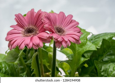Gerbera blossom. Blooming pink flower and green petals. Bloom in natural environment. Asteraceae (daisy family)