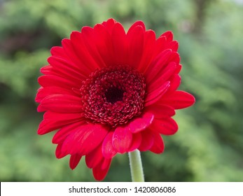 Gerbera, commonly known as African daisy,  is a genus of daisy family (Asteraceae). Gerbera is one of the most common cut flowers and garden flowers.