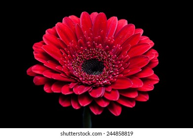 Gerbera Daisy Beautiful Red Flower On Black Background Wallpaper For Desktop Mobile