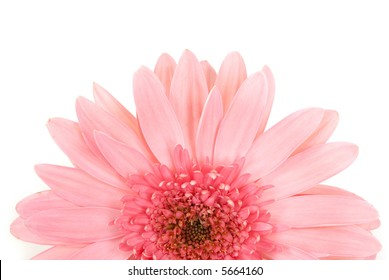Gerbera daisy close up on white background